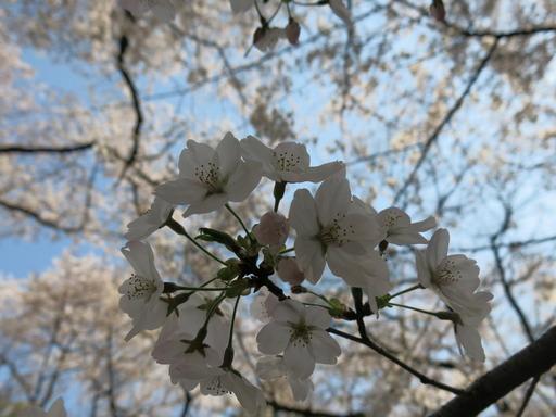 大宮 お花見